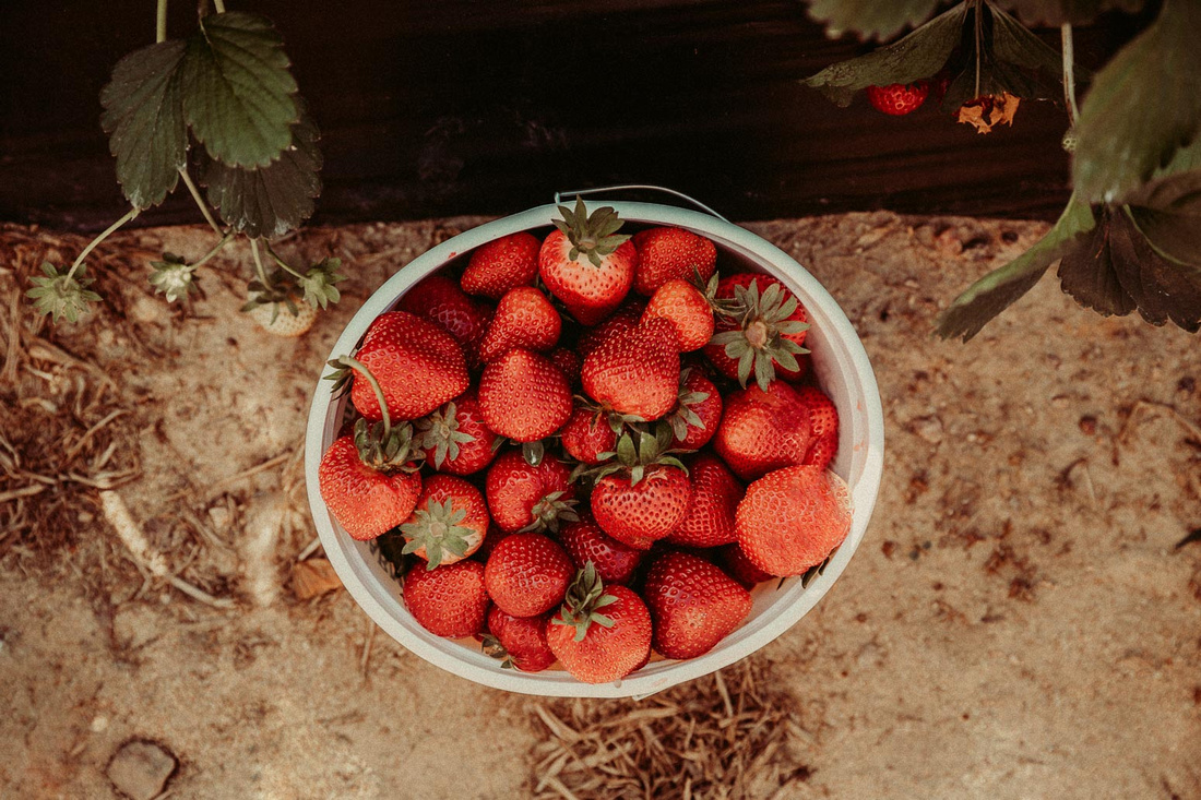 Gallon of freshly picked strawberries seen from above
