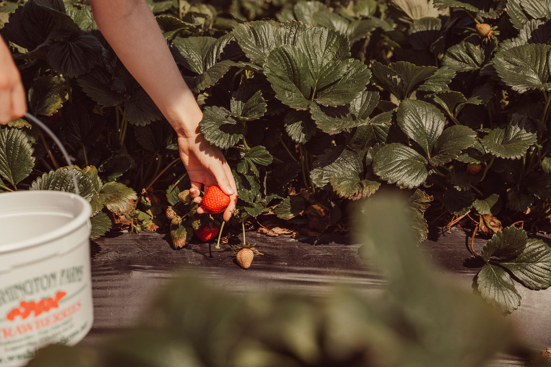 hand of a child picking a strawberry