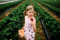 strawberry picking by monica carlson posted on the Click Pro Dai